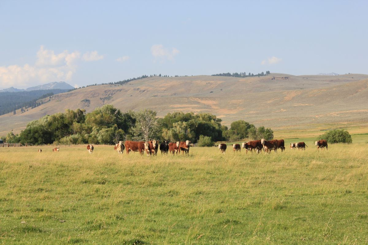 Blue Mt cattle ranch