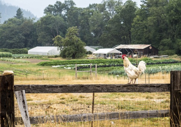 Rooster starts his day on the Easy Valley Farm near Rogue River, Oregon.
