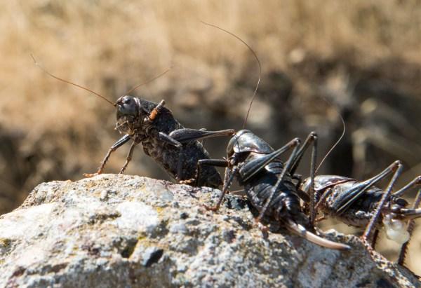 Mormon crickets on rock