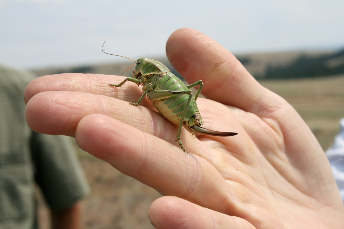 Cricket on a hand