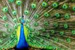 Trots-als-een-pauw