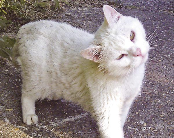 Outdoor otitis in a cat