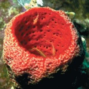 caribbean-sponge