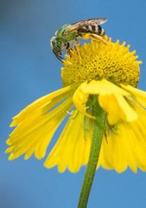 emeraldbee-2