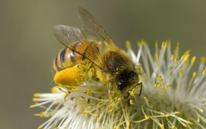 honey-bee-pollen