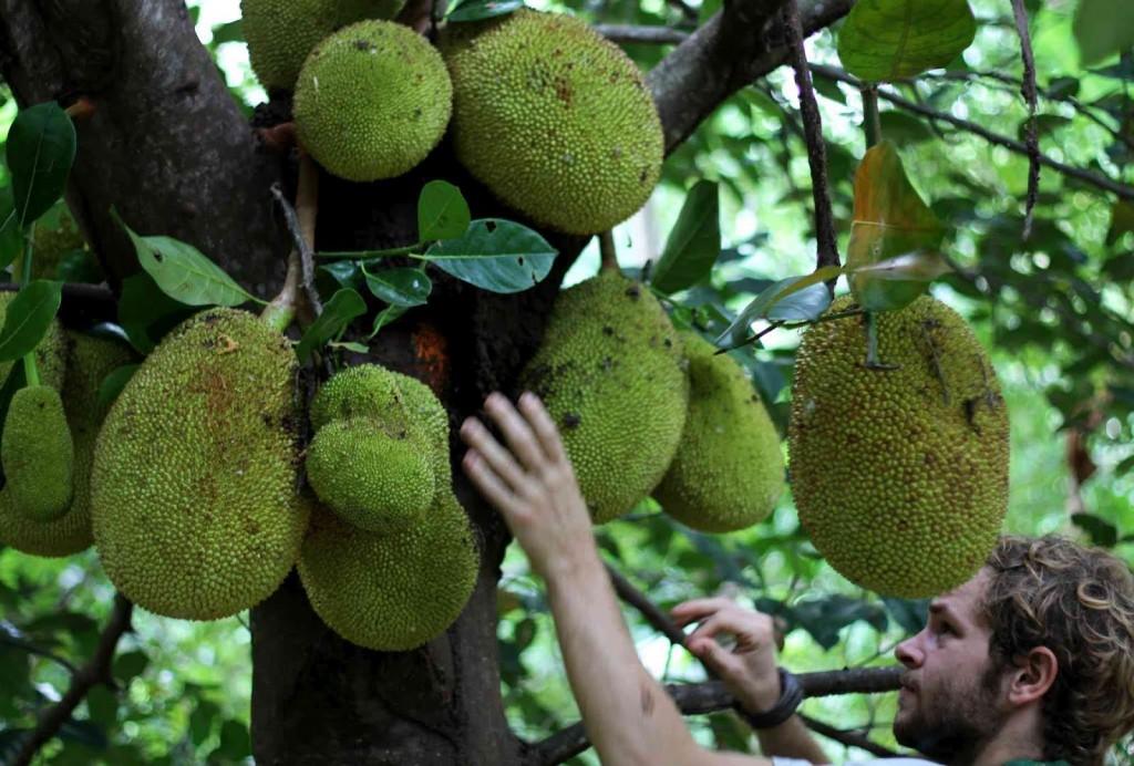 Jackfruit Jim