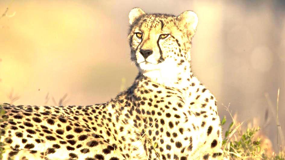 cheetah-watching.jpg.adapt.945.11.jpg