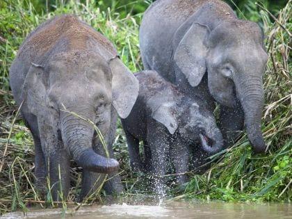 Elephants Kinabatangan River