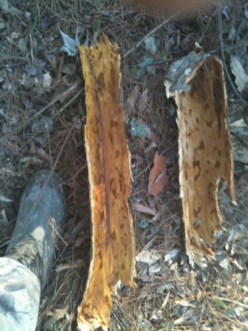 Large Oak Chips Found in Vicinity of March 2013 Calls
