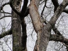 Extensive scaling on oak, 2013