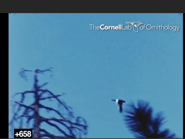 Screen capture of Imperial Woodpecker in flight