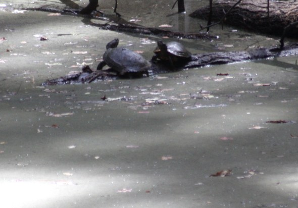 Turtle Fight
