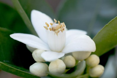 Close up of an orange blossom showing the stigma and anthers NotSoSAHM