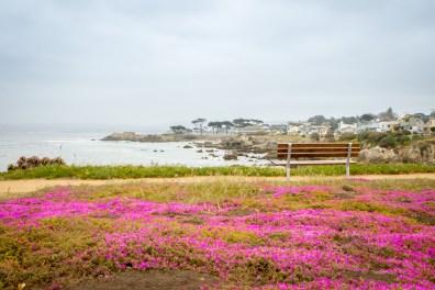 Purplish pink flowers blanket the ground in Pacific Grove, CA in the springtime NotSoSAHM