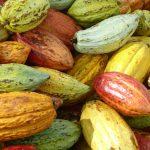 cacao agroforesterie cameroun