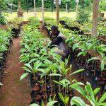 pepiniere agroforesterie cameroun