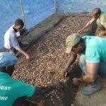 pépinière reforestation ghana