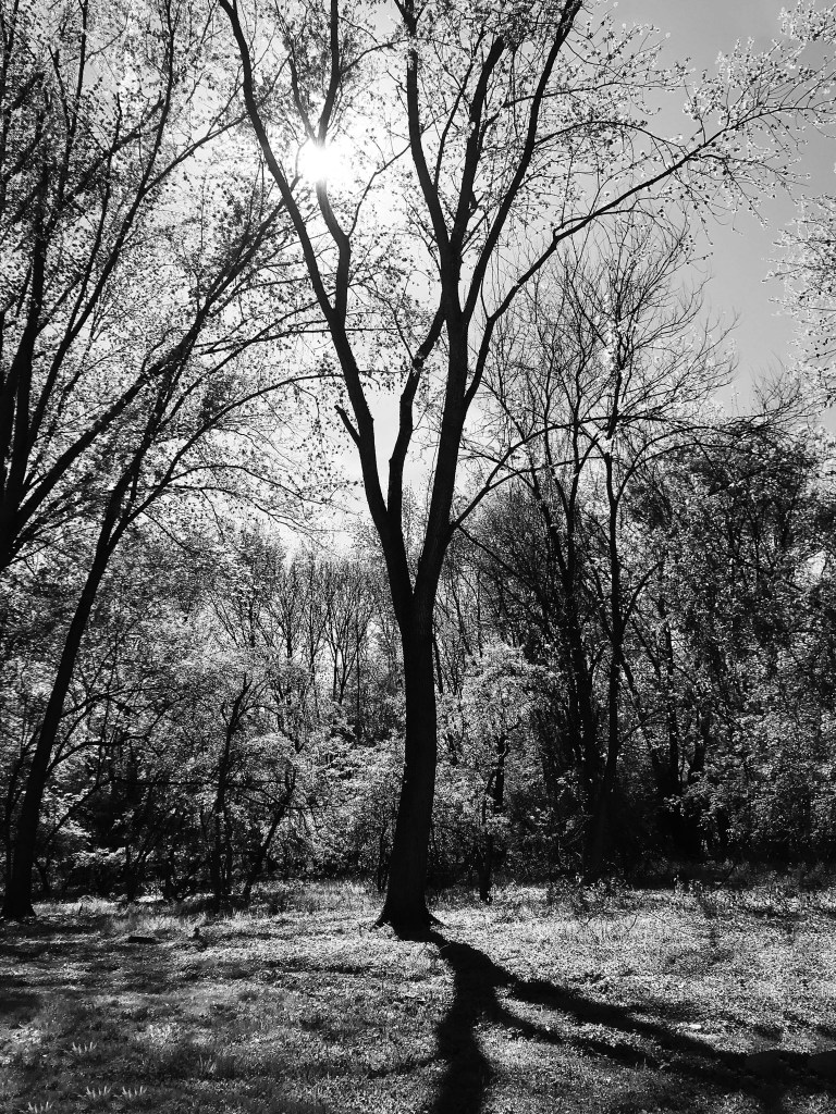 Black and white photograph of a large tree in the middle of a forest