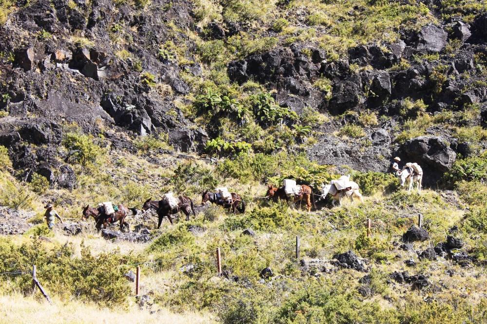 Mules descending a mountainous trail