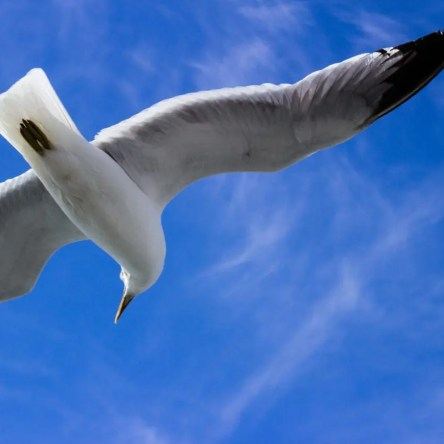 A seagull flying against a blue sky