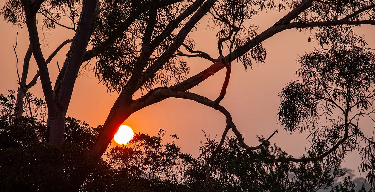 The sun, made red by a hazy sky, shines through the silhouette of a eucalyptus tree