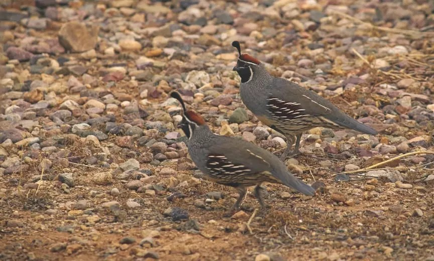 Bird Hunting In Arizona A Project Upland Hunting Guide