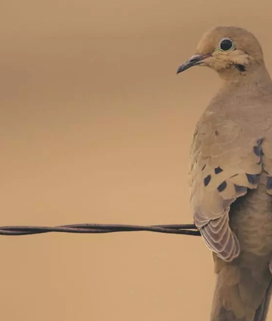 Hunting Doves with Decoys