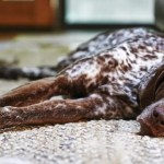 A german shorthaired pointer in a city apartment.