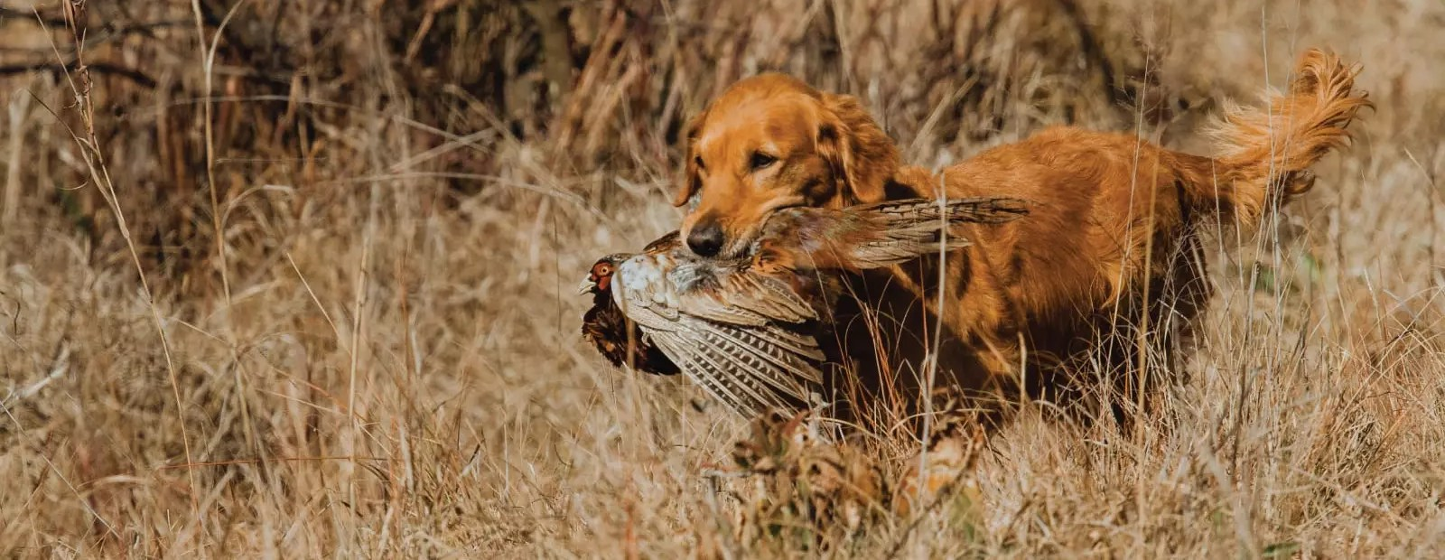 Should You Consider a Flushing Breed for Your Next Bird Dog