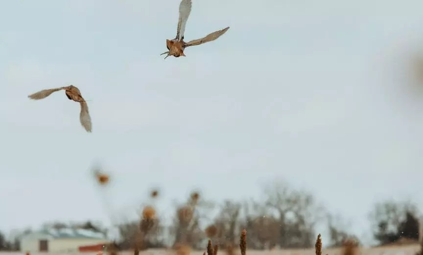 Two pheasant flying away from hunters.