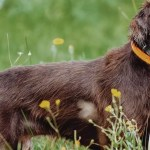 A side profile of a Pudelpointer while hunting.