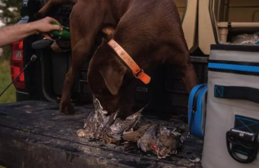 A bird dog sniffing a group of doves on a tailgate after hunting.