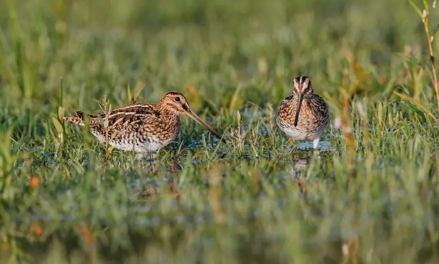 Two Wilson's snipe waling in a marsh.