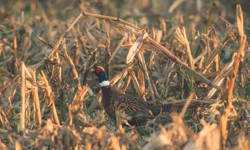 A pheasant walking and feeding in a corn field.