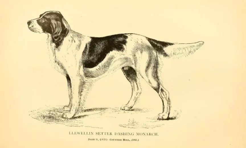 A Llewellin setter bred from the famous Dash II
