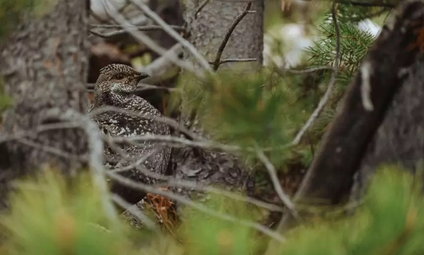 A dusky grouse hiding in the mountains