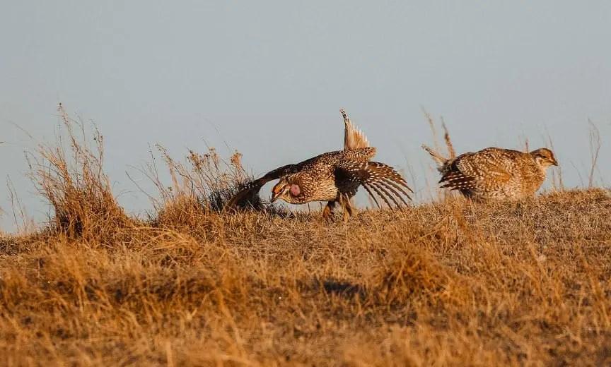 A sharp-tailed grouse strutting on a prairie
