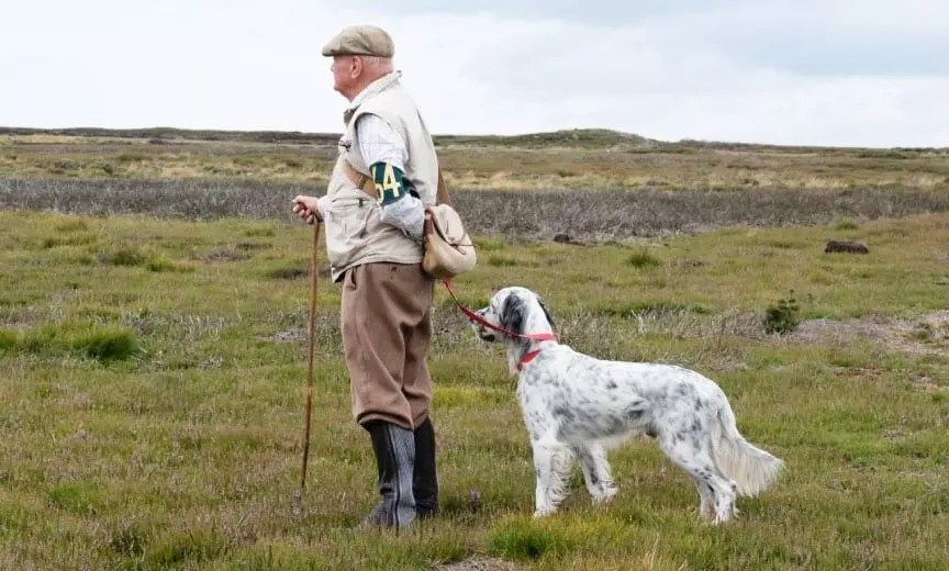 An English setter in Britain