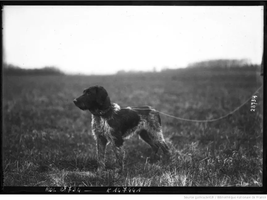 A wirehaired pointing griffon in a field trial in 1913