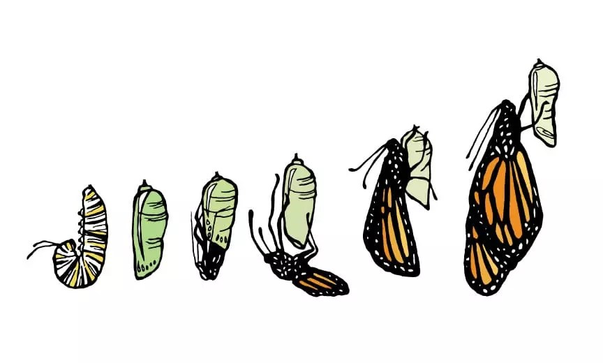 A monarch butter fly hatching.