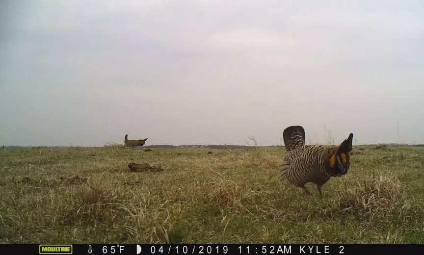 Prairie chickens captured on a trail camera