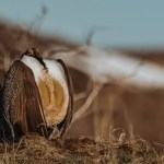 A sage grouse standing out in the open Sage Steppe