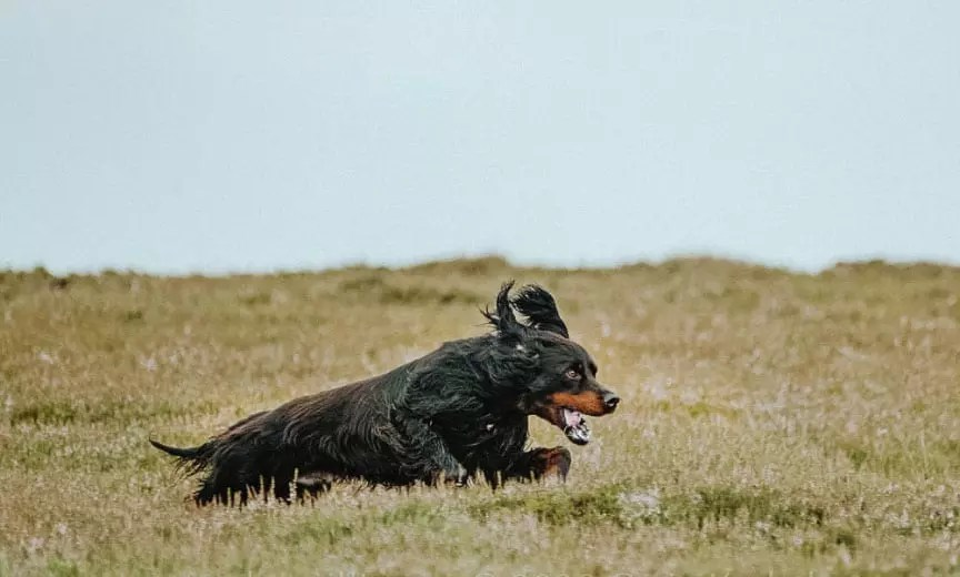 A Gordon setter running while hunting