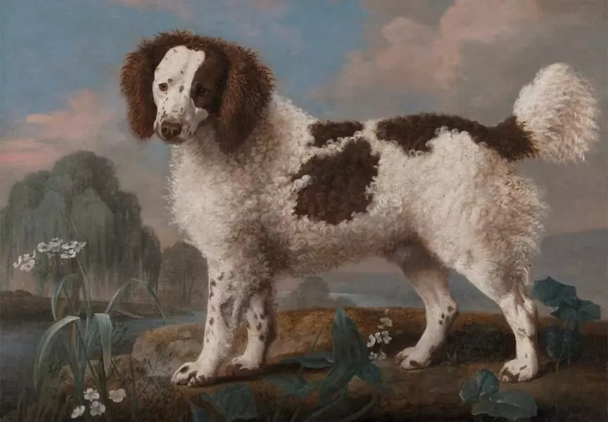The English Water Spaniel, now extinct