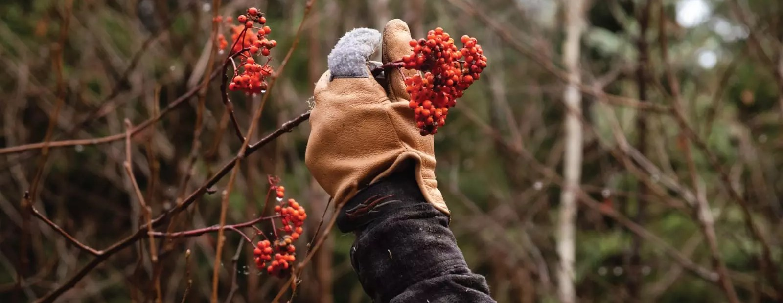 a grouse hunter examines mountain ash berries