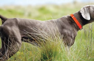 A Weimaraner on point while bird hunting