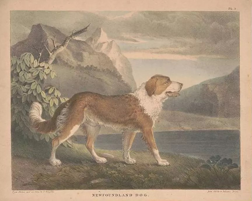 Seaman the Newfoundland Dog, companion of Lewis and Clark