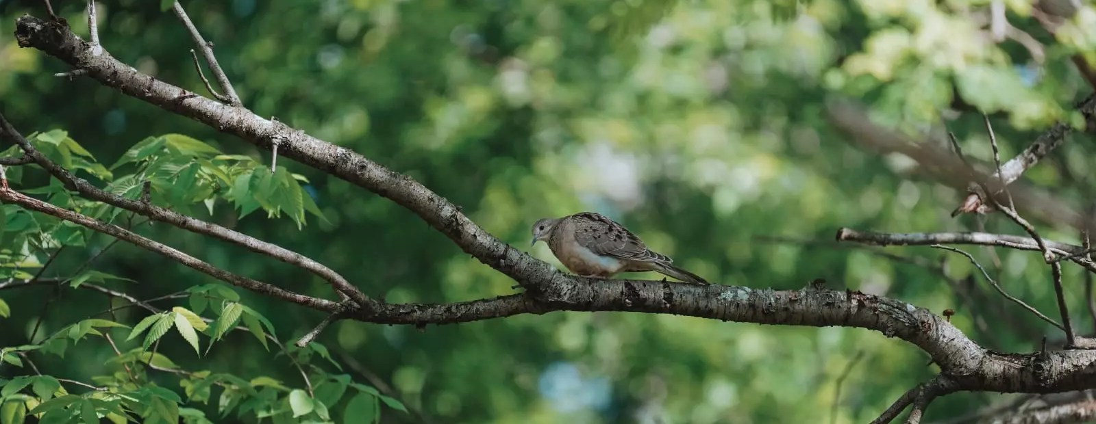 A mourning dove in habitat