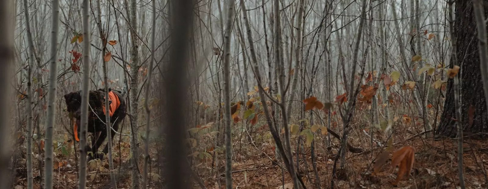 A hunting dog pursues grouse in wet, snowy woods