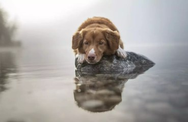 A Nova Scotia Duck Tolling Retriever in the water